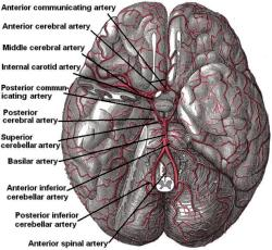 Basilar artery beneath the brain (Gray's Anatomy)